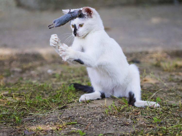 Mit Grausamkeit hat es nichts zu tun, wenn Katzen mit ihrer Beute spielen – Shutterstock / Member