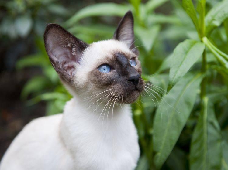 Siamkatzen haben immer ein wunderschönes Point-Fellmuster – Shutterstock / Ivonne Wierink