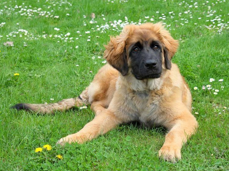 Der Leonberger sieht aus wie ein Löwe, ist aber ein sanftmütiger Familienhund – Shutterstock / Capture Light