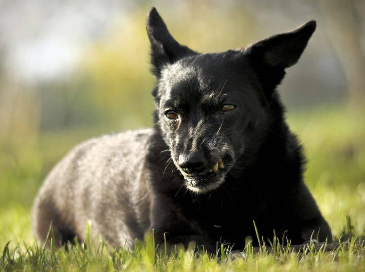 """""""Komm mir bloß nicht zu nahe"""", scheint dieser knurrende Hund zu denken – Shutterstock / Tomasz Wrzesien"""