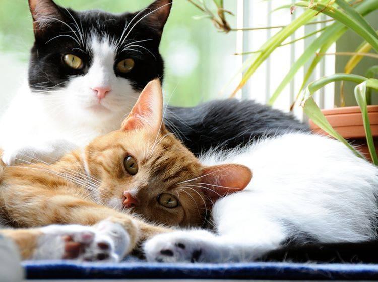 Zwei wunderhübsche gescheckte Katzen kuscheln auf der Fensterbank – Shutterstock / Aspen Photo