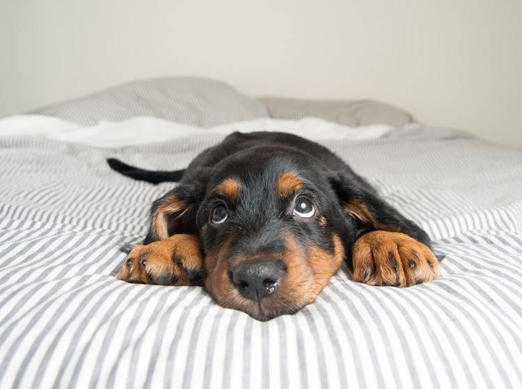 Wer kann diesem lieben Hundeblick schon widerstehen? – Shutterstock / Anna Hoychuk