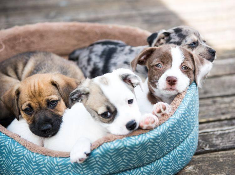 Eine Gaumenspalte bei Welpen ist oft angeboren – Shutterstock / Anna Hoychuk