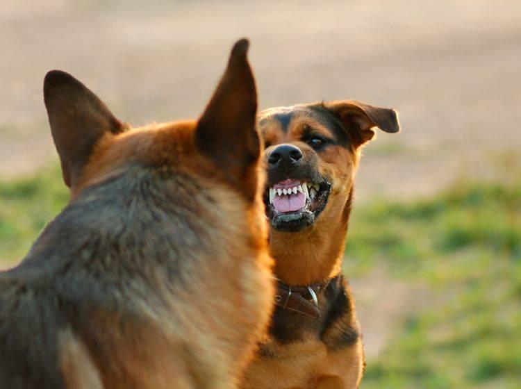 Bevor Hunde angreifen, durchlaufen sie verschiedene Eskalationsstufen – Shutterstock / Art_man