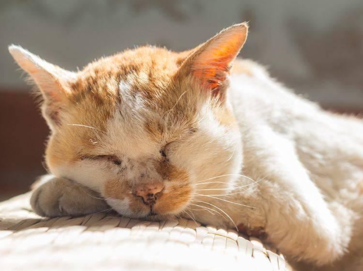 """""""Hey! Von wegen alt, ich schlafe nur einfach gern und viel"""", wird sich diese betagte Miez denken – Shutterstock / Suphaksorn Thongwongboot"""