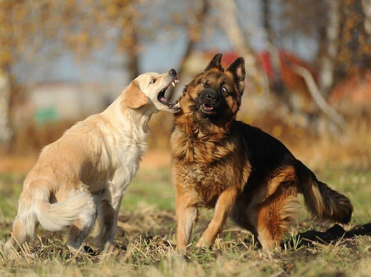 Wenn während eines Hundestreits doch einmal gebissen wurde, sollte schnell gehandelt werden – Shutterstock / Victoria Antonova