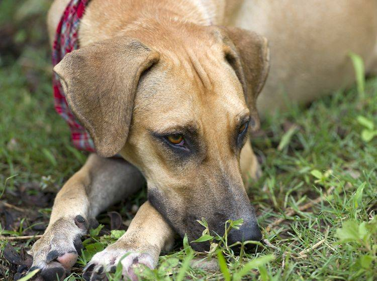 In den meisten Fällen hat sich die Sache erledigt, wenn der Hund sich einmal übergibt – Shutterstock / Mexitographer