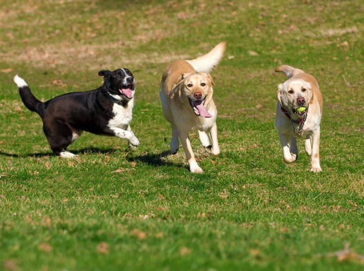 Bestenfalls kann Ihr Hund während Ihres Urlaubs mit Artgenossen spielen und sich so ablenken – Shutterstock / Stanimir G.Stoev