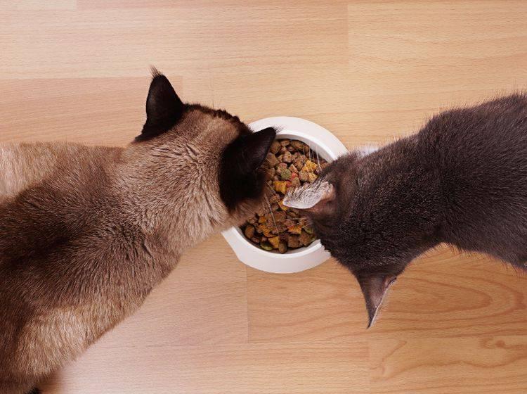 Ein Napf, zwei Tiger? Da stimmt was nicht. Jede Katze sollte ihren eigenen Futternapf haben – Shutterstock / Axel Bueckert
