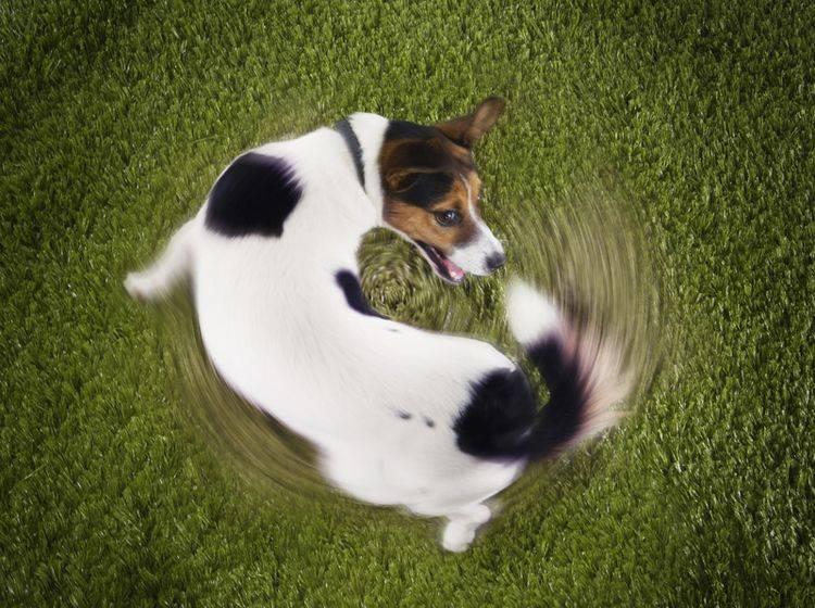 Hunde wie dieser Jack Russel Terrier, die ihren Schwanz jagen, könnten möglicherweise krank sein – Shutterstock / bikeriderlondon