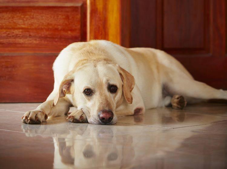 Trennungsangst kann ein Grund dafür sein, wenn Hunde vor der Tür warten – Shutterstock / Jaromir Chalabala