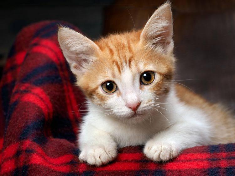 Eine taube Katze braucht im Alltag ein bisschen Unterstützung – Shutterstock / Irina Kozorog
