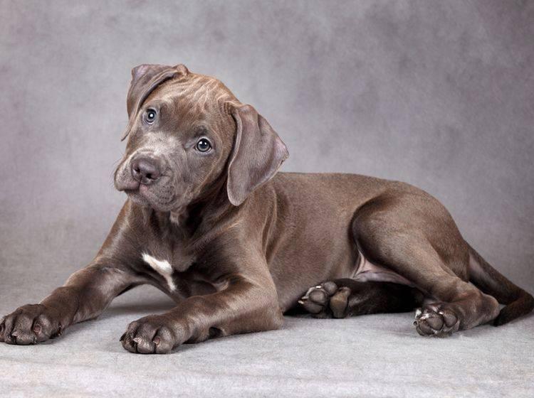 Ein schokobrauner American Pitbull Terrier Welpe schaut zuckersüß und lieb in die Kamera – Shutterstock / Adya