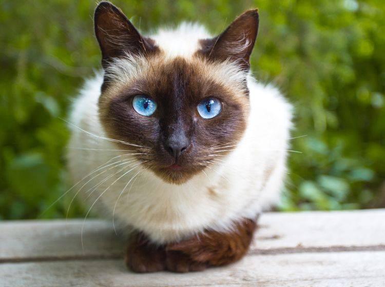 Taubheit ist bei Katzen gar nicht so leicht zu erkennen – Shutterstock / chromatos