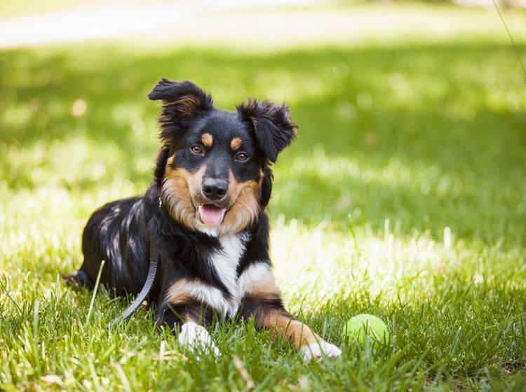 Tennisbälle sind als Hundespielzeug nicht gut geeignet – Shutterstock / Yigit Deniz Ozdemir