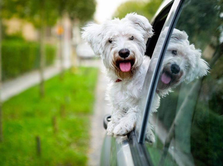 """""""Huiiii, das macht Spaß!"""": Dieser süße Malteser liebt es, beim Autofahren aus dem Fenster zu sehen – Shutterstock / Lucky Business"""