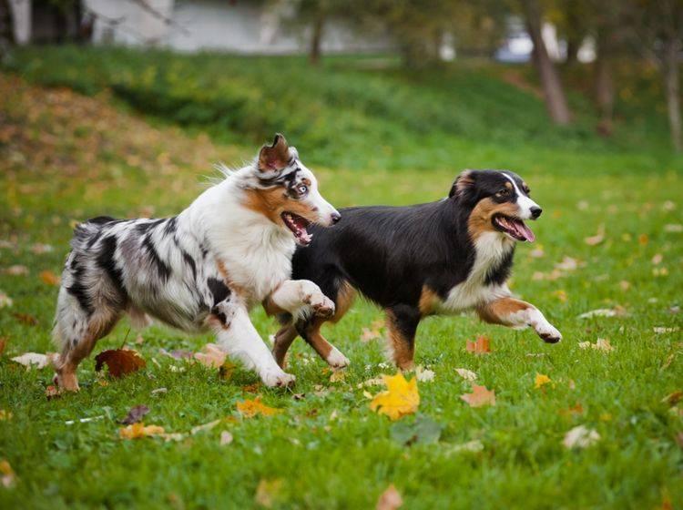 Genau wie diese zwei Racker, können sich Vierbeiner auf Hundewiesen so richtig auspowern – Shutterstock / Ksenia Raykova