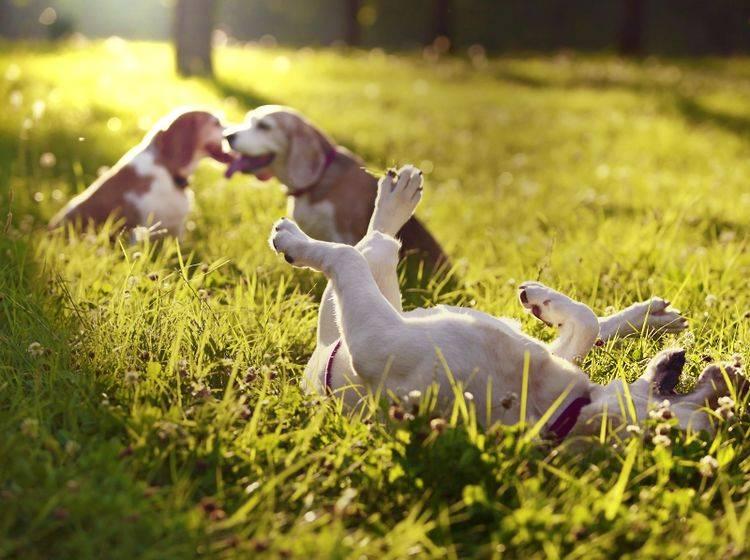 Hundewiesen und das Spielen dort mit anderen Hunden, sind ein Traum für nahezu jeden Vierbeiner – Shutterstock / Sasa Dzambic Photography