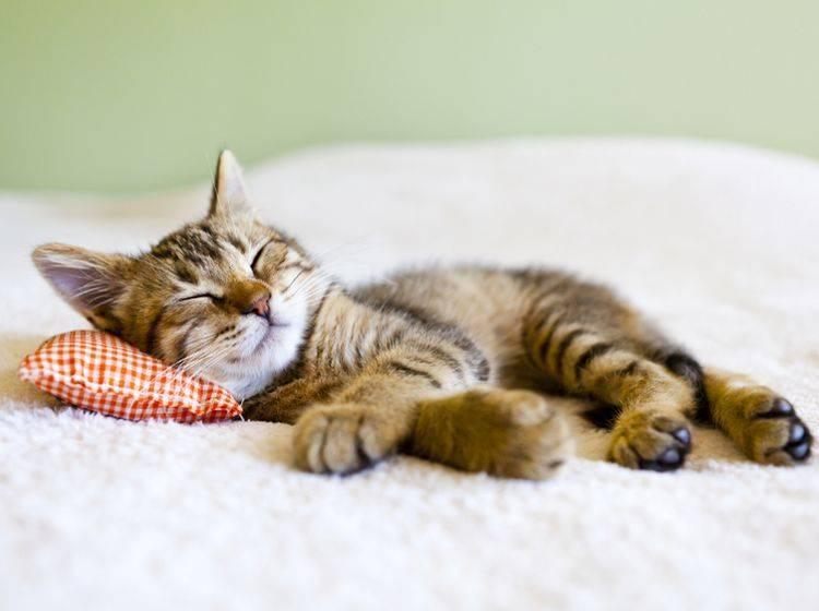 Speziell junge Katzen haben ein vermehrtes Schlafbedürfnis – Shutterstock / MaxyM
