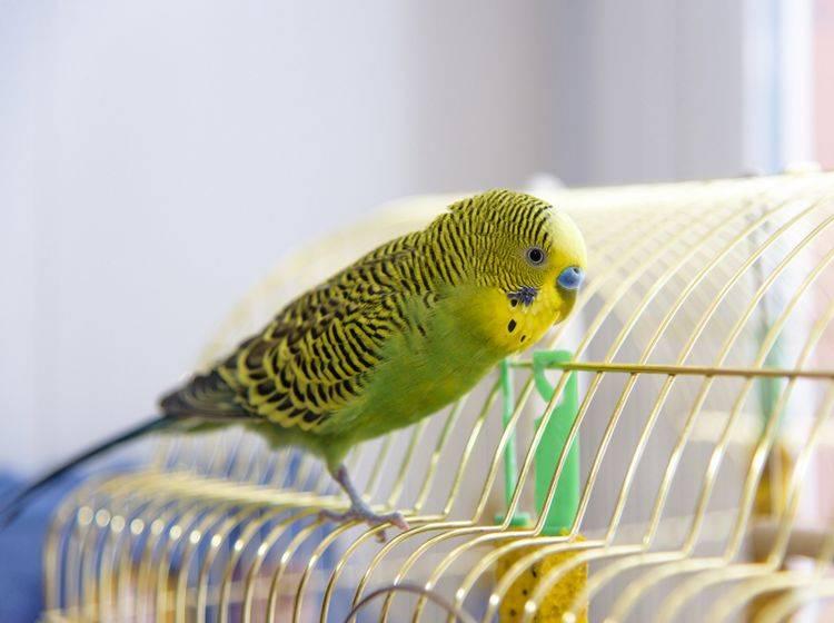 Idealerweise ist Ihr Wellensittich zahm und darf außerhalb seines Käfigs in der Wohnung herumfliegen – Shutterstock / Vyaseleva Elena