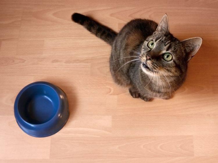 Die Katze scheint Hunger zu haben, aber mag nichts fressen? Vielleicht hat sie Zahnschmerzen – Shutterstock / zizar