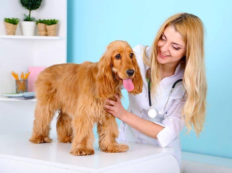 Leidet ein Hund an Inkontinenz, kann nur der Tierarzt helfen – Shutterstock / Africa Studio