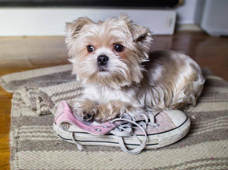 """""""Das war ich nicht, das war schon so!"""", denkt dieser Hundewelpe, der in flagranti ertappt wurde – Shutterstock / radFX"""