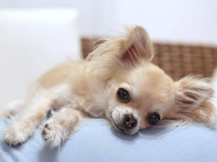 Mit ein paar praktischen Tipps können Sie so entspannt sein wie der süße Chihuahua auf dem Sofa – Shutterstock / padu_foto