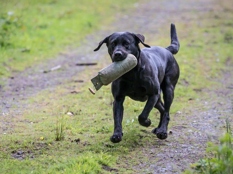 Dummytraining und Apportieren machen diesem Labrador einen Riesenspaß! – Shutterstock / Daz Stock