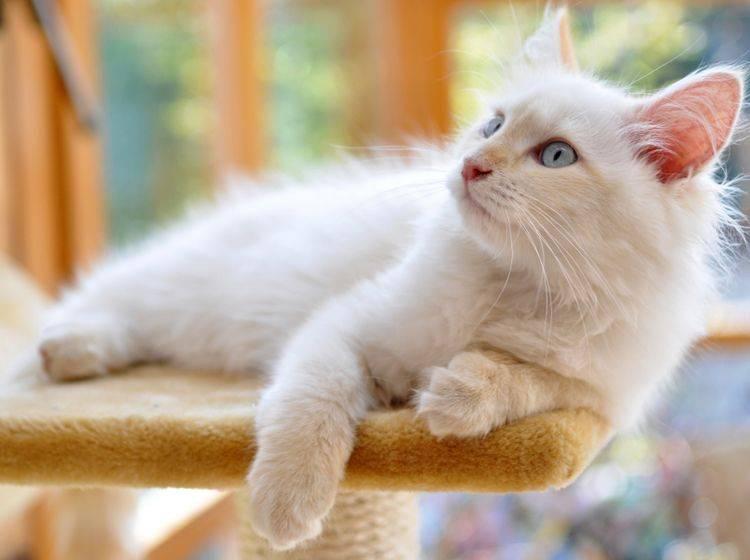 Viele Katzen mit weißer Fellfarbe und blauen Augen sind taub – Shutterstock / papillondream