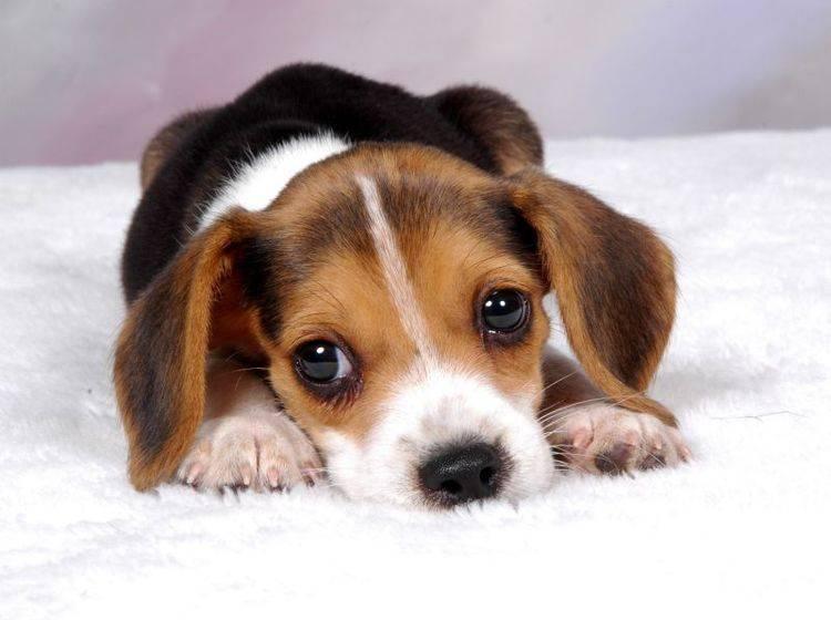 Beagle sind nicht gern allein und haben gern Gesellschaft – Shutterstock / Rhonda ODonnell
