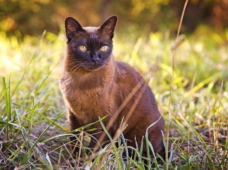 Schön und elegant: Aber die Burma-Katze braucht auch eine spezielle Ernährung – Shutterstock/jojosmb