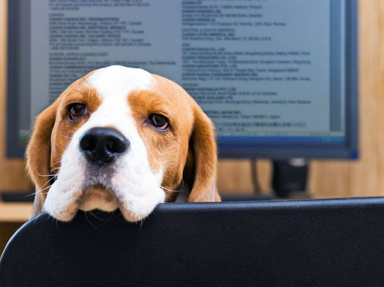 Mit einem Hund im Büro wird jede Excel-Tabelle erträglicher – Shutterstock/Igor Normann