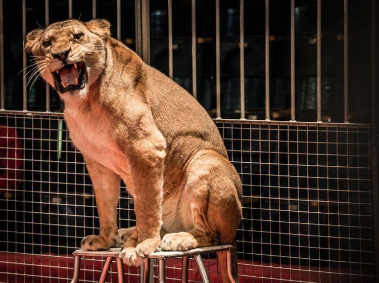 Wildtiere wie dieser Löwe gehören nicht in die Manege, sondern in die freie Wildbahn – Shutterstock / Nejron Photo