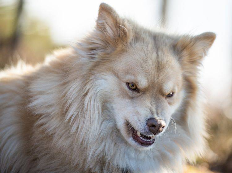 Bevor Hunde beißen, geben sie in der Regel eine Reihe von Warnzeichen, zum Beispiel Knurren – Shutterstock / jjuhala