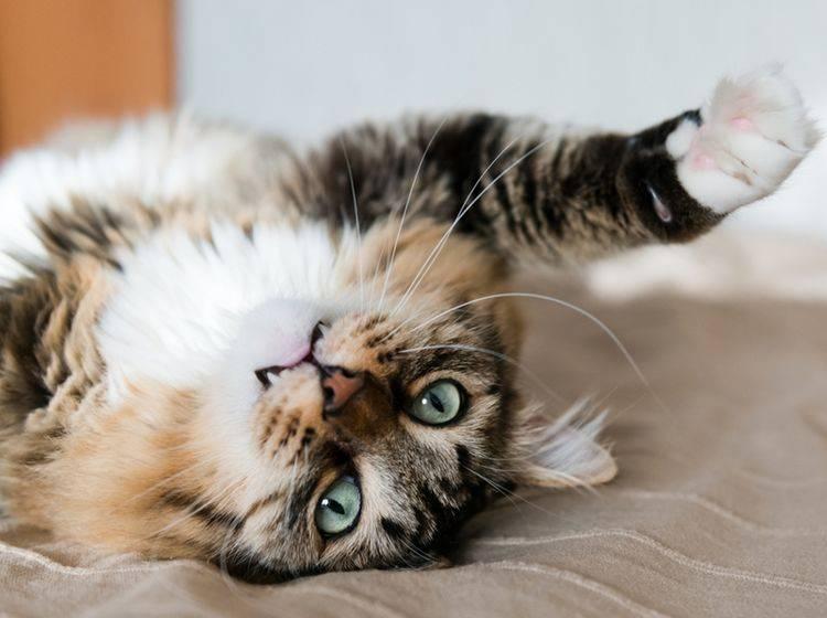 Was Ihnen diese Miez wohl sagen will? Kenntnisse der Katzensprache könnten weiterhelfen – Shutterstock/Valeri Potapova