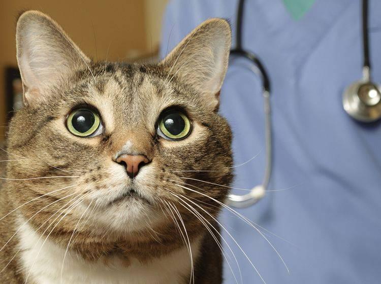 Zum Wohl des Augenlichts Ihrer Katze, sollten Sie regelmäßig beim Tierarzt den Blutdruck checken lassen – Shutterstock/Mr.Nikon