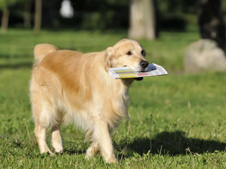 Golden Retriever gehören zu den Hunderassen, die sehr gern apportieren – Shutterstock / dogist