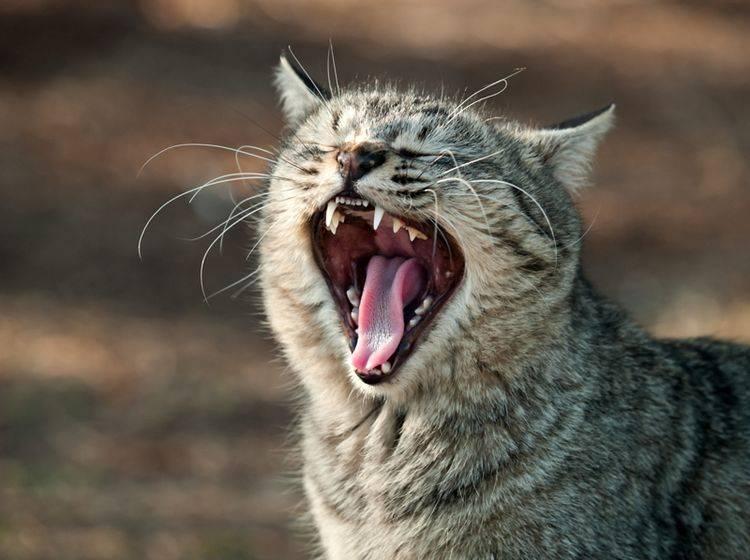 Die Zähne lassen keinen Zweifel: Katzen sind Raubtiere – Shutterstock / Seiji