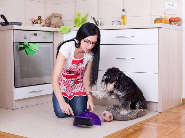 """""""Darf ich beim Frühjahrsputz mithelfen?"""", möchte dieser süße Zwergschnauzer gern wissen – Shutterstock / Budimir Jevtic"""