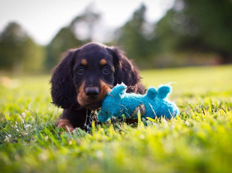 """""""Wer mag mit mir spielen? Ich hab extra mein Lieblingsstofftierchen dabei!"""", scheint dieser knuffelsüße Welpe sagen zu wollen – Shutterstock / Gunnar Rathbun"""