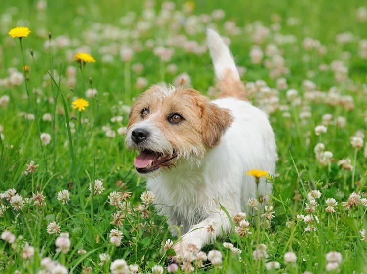 Auch Hunde können unter einer Pollenallergie oder Heuschnupfen leiden – Shutterstock / anetapics