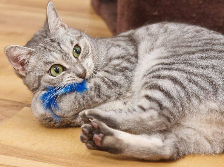 """""""Nimm das, blaues Puschelding!"""", denkt diese junge Tigerkatze beim Spielen – Shutterstock / Xseon"""