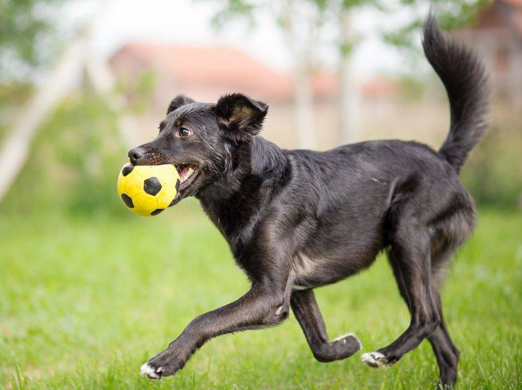 Dieser süße Hund ist beim Spielen voll in seinem Element – Shutterstock / Lunja