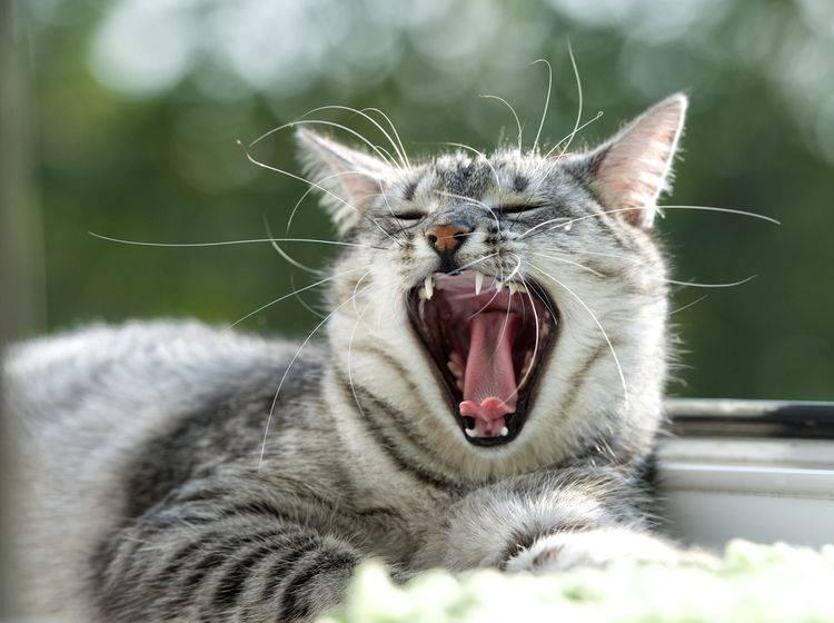 Diese Katze hatte offensichtlich keine Probleme beim Zahnwechsel – Renata Apanaviciene – Shutterstock