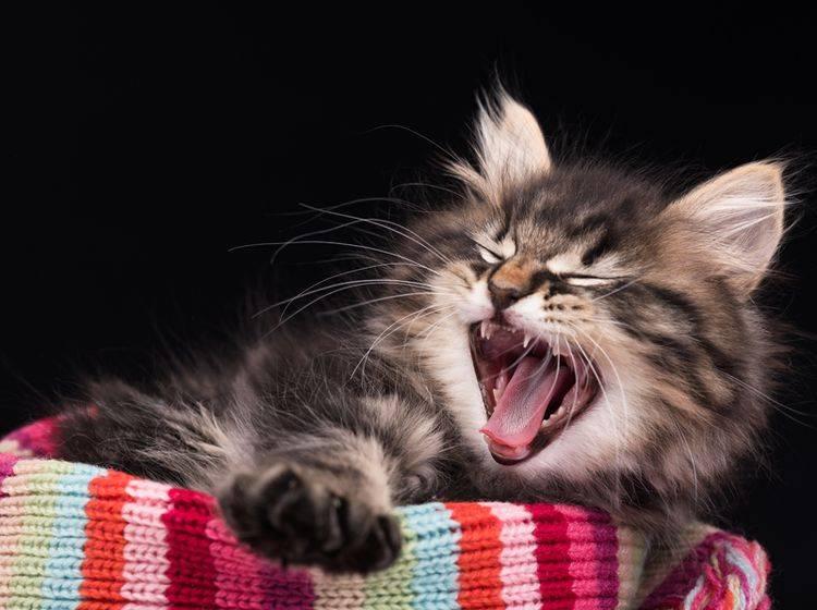 """""""Ouaaah! Ich bin ein gefährliches Raubtier!"""", scheint die kleine sibirische Katze sagen zu wollen – Shutterstock / Lubava"""