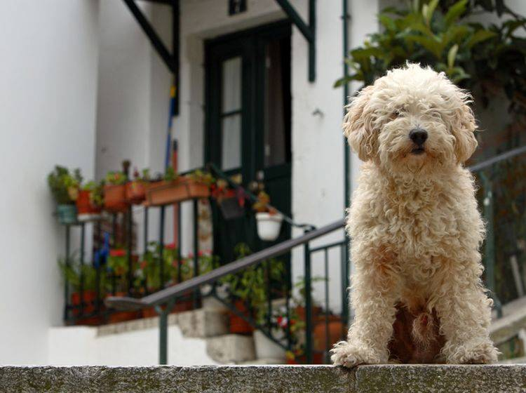 Auch dieser puschelige spanische Wasserhund kann lernen, Türen zu öffnen – Shutterstock / aaleksander