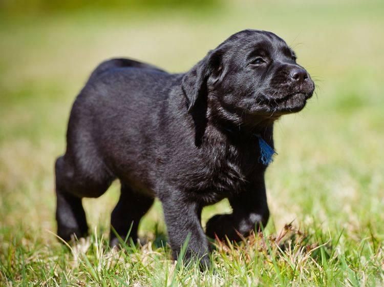 Dieser süße Labrador-Welpe scheint sich schon auf sein Training zu freuen – otsphoto/Shutterstock