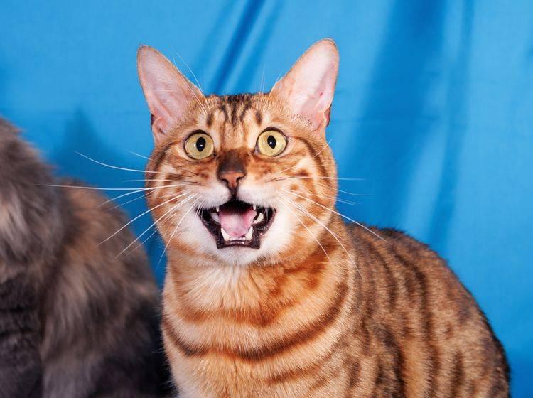 """""""Miauuuuuu!"""": Was will uns diese hübsche Tigerkatze wohl mitteilen? – Shutterstock / hannadarzy"""