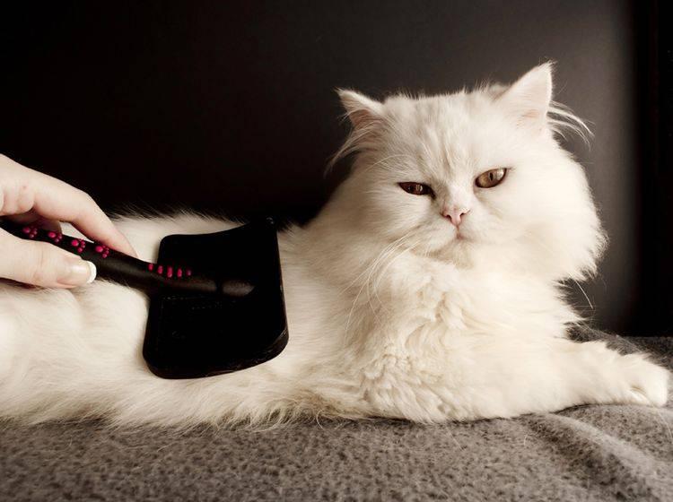 Langhaarkatzen wie die Perser brauchen die tägliche Fellpflege – Shutterstock / DreamBig